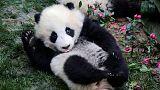 Панды готовятся к китайскому Новому году