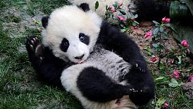 Les pandas fêtent le printemps avec gourmandise en Chine