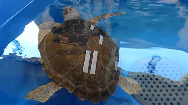 Italia: a Napoli il Centro tartarughe marine più grande del Mediterraneo