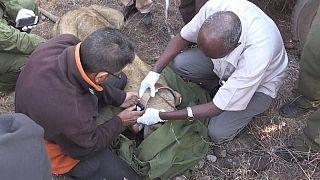 Le Kenya continue à poser des colliers GPS sur les lions [no comment]