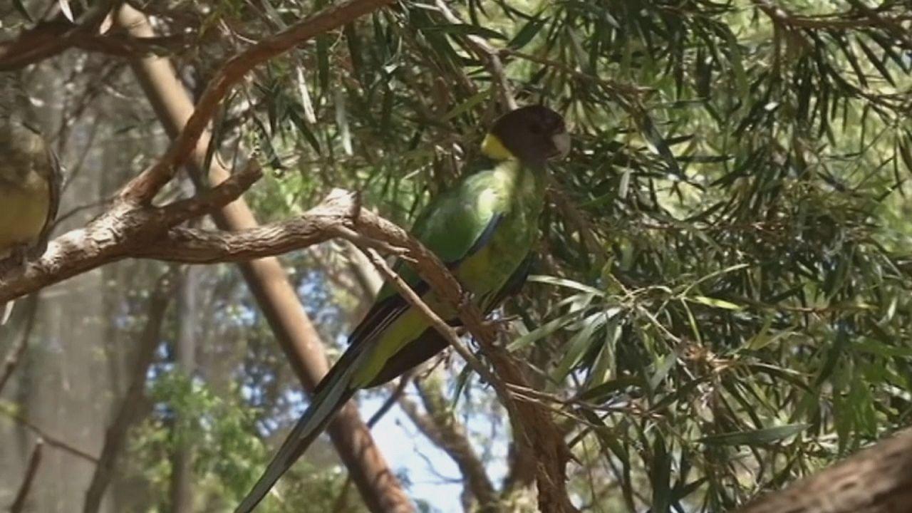 Az örvös papagáj szárnya és a klímaváltozás