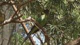 Ringneck parrot wings could be an indicator of climate change