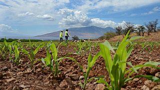 L'Afrique du Sud va importer 1,3 million de tonnes métriques de maïs transgénique américain