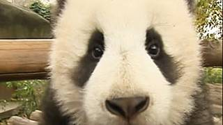 بازیگوشی توله پانداها در باغ وحشی در چین