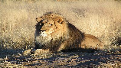 En Afrique du Sud, enquête après l'empoisonnement et la mutilation de plusieurs lions