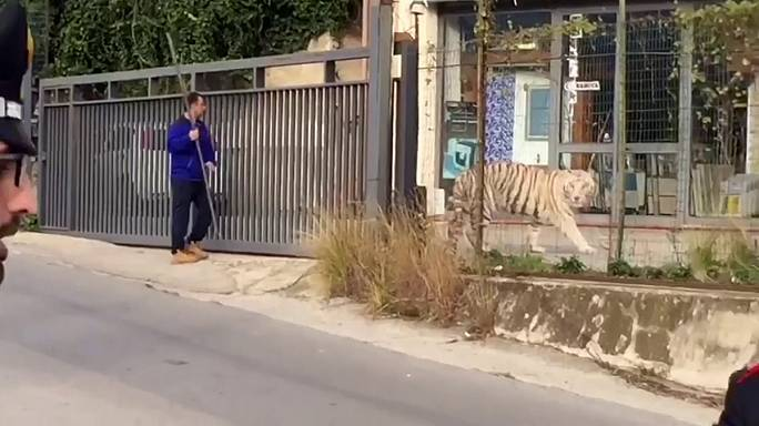 Kiszökött a cirkuszból egy fehér tigris