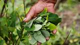 Colombian marching protest farmers defend the coca leaf