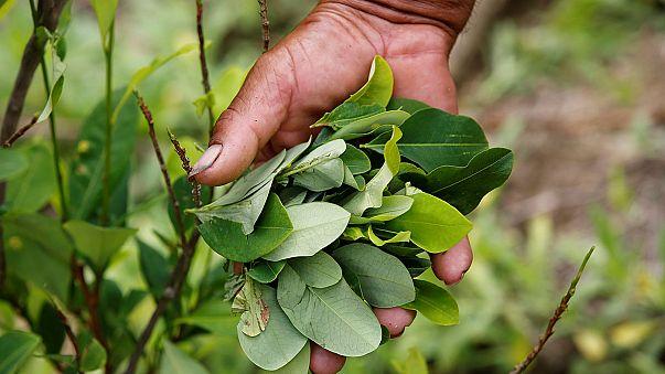 Kolombiyalı koka yaprağı üreticileri sokaklara döküldü
