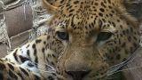 Pieles falsas para evitar la caza ilegal de leopardos en África