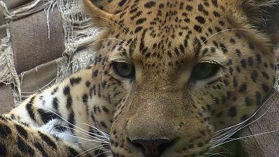 Fake pelts mean living leopards