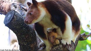 Un bébé kangourou arboricole pointe le bout de son nez en Australie