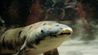 """EUA: O """"avô"""" dos peixes em cativeiro eutanasiado aos 90 anos"""