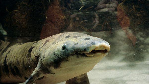Grandad, eutanasiado en el acuario Shedd de Chicago