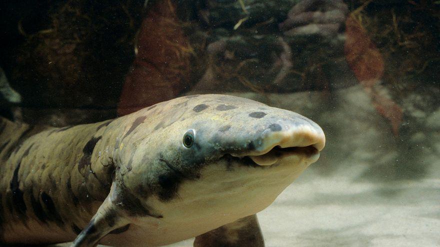 Ältester Fisch der Welt eingeschläfert