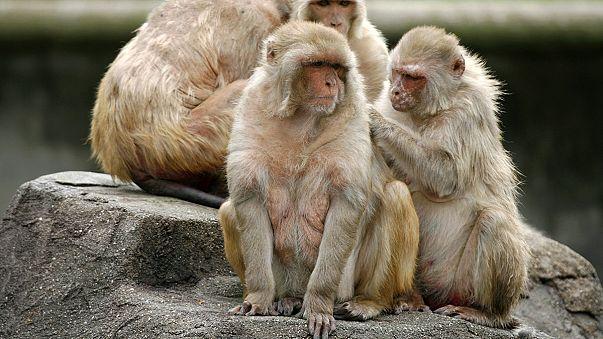 Neues Verhütungsmittel für den Mann? Vasalgel erfolgreich bei Affen getestet