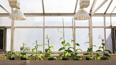 Four unmodified plants (left) grow beside four plants (right) that were genetically engineered to make the process of photosynthesis more efficient.