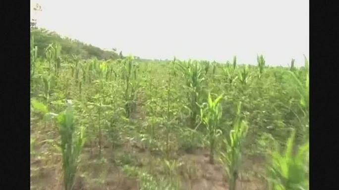 Bolivia. Invasione di cavallette mette a rischio produzione agricola