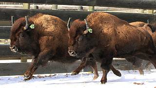 Canada reintroduces bison to its oldest national park