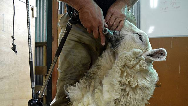 Sheep shearers from across the globe battle it out in New Zealand championship