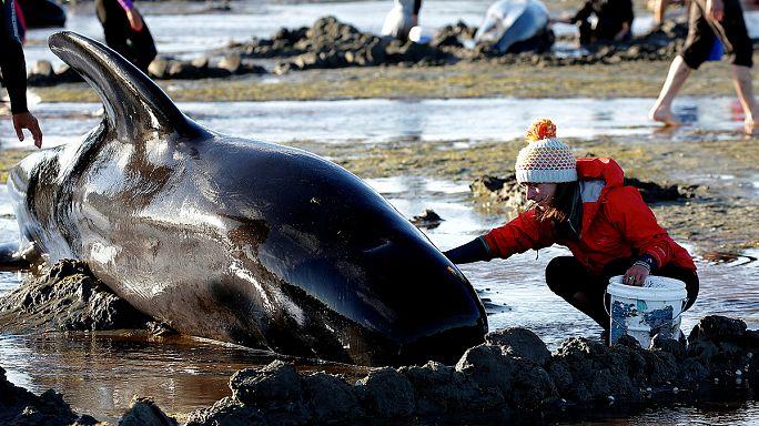 Yeni Zelanda'da yüzlerce balina karaya vurdu