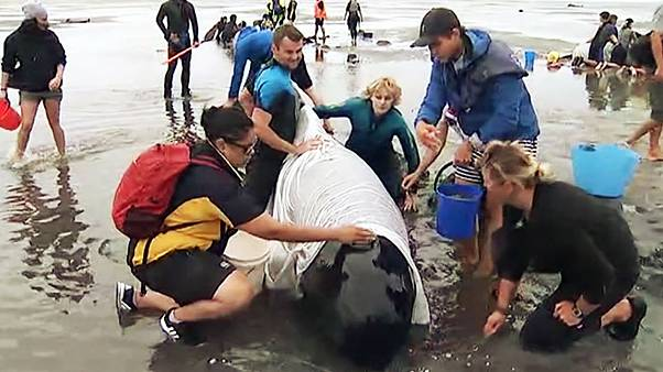 مردم محلی مانع از خودکشی نهنگ های به گل نشسته در نیوزیلند شدند