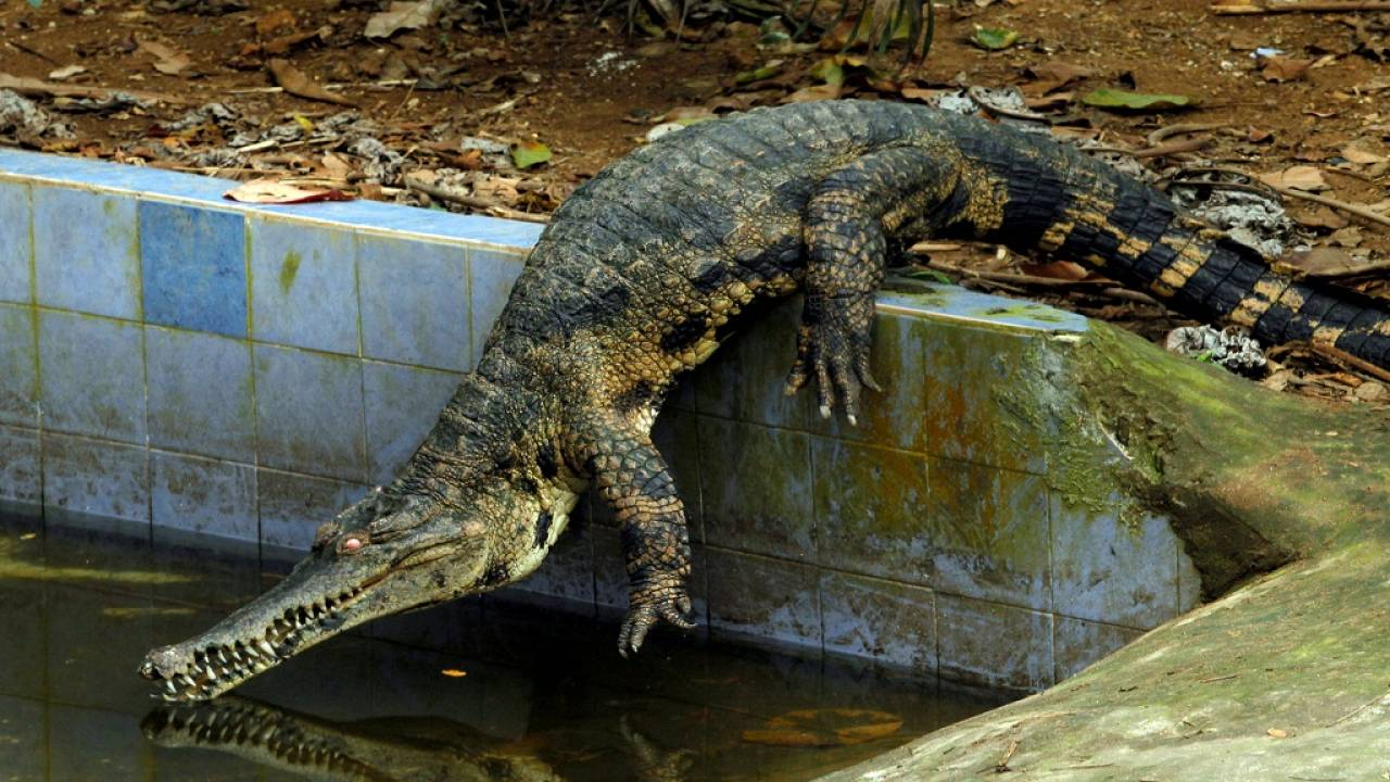 africa s rarest crocodile under special protection program euronews