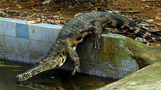 Africa's rarest crocodile under special protection program