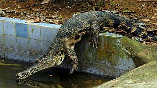 Le crocodile à museau mince, le plus rare d'Afrique est menacé d'extinction