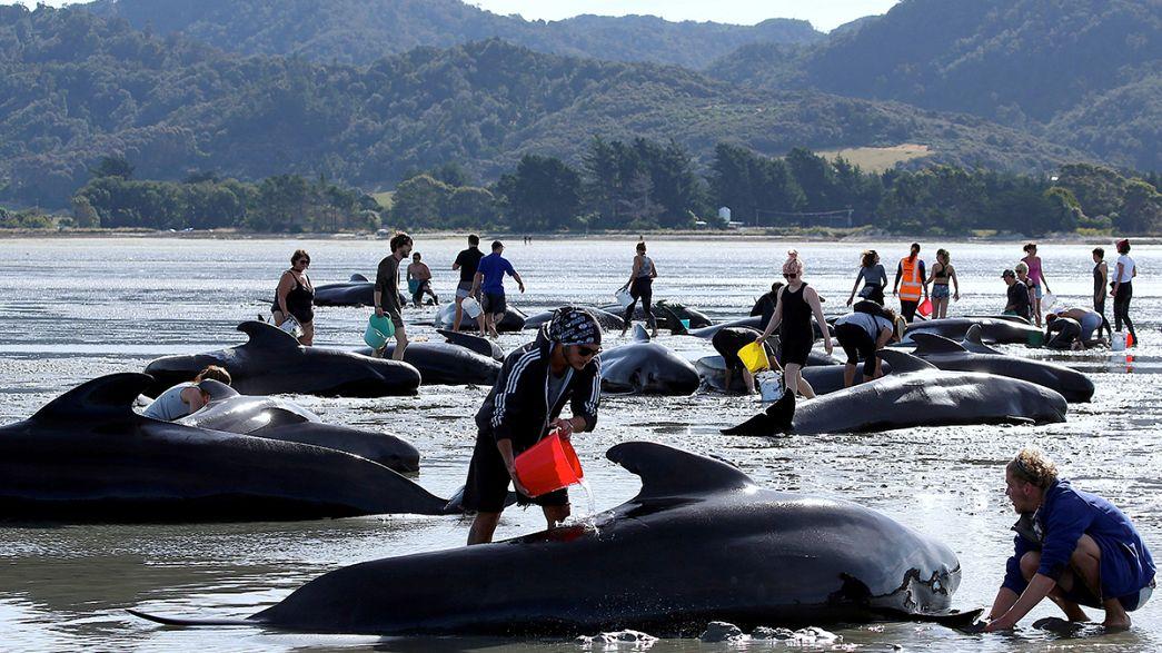 Voluntários tentam resgatar baleias na Nova Zelândia