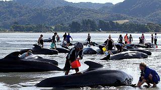 نيوزيلندا: متطوعون يساعدون 100 حوت عالق على الشاطئ على العوم من جديد