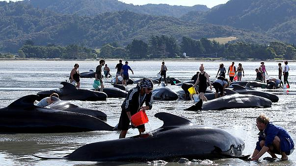 Continúan las labores para salvar el mayor número posible de ballenas varadas en una playa de Nueva Zelanda