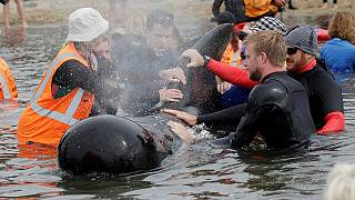 Delfinek százait kellett menteni Új-Zélandon