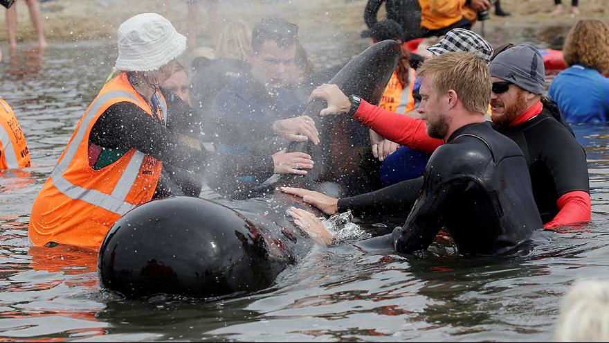 "New Zealand whale stranding ""over"""