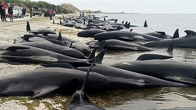 Nouvelle-Zélande : les baleines-pilotes regagnent la haute mer