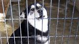 Siberian Husky attempts great escape from Chinese Vet