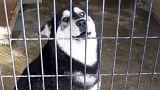 Köpeklerin barınaktan sıradışı firar girişimi