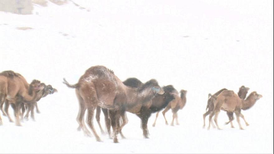 Inverno maravilhoso para camelos na Turquia