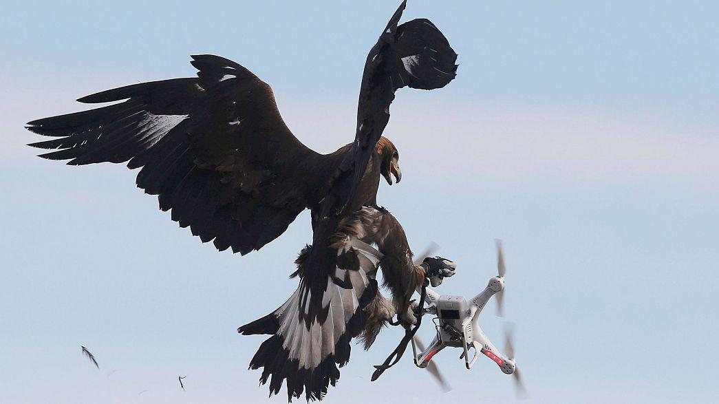 عقاب ها به شکار پهپادها می روند