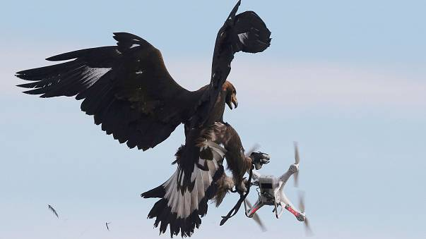 Águias para combater uso ilegal de drones civis
