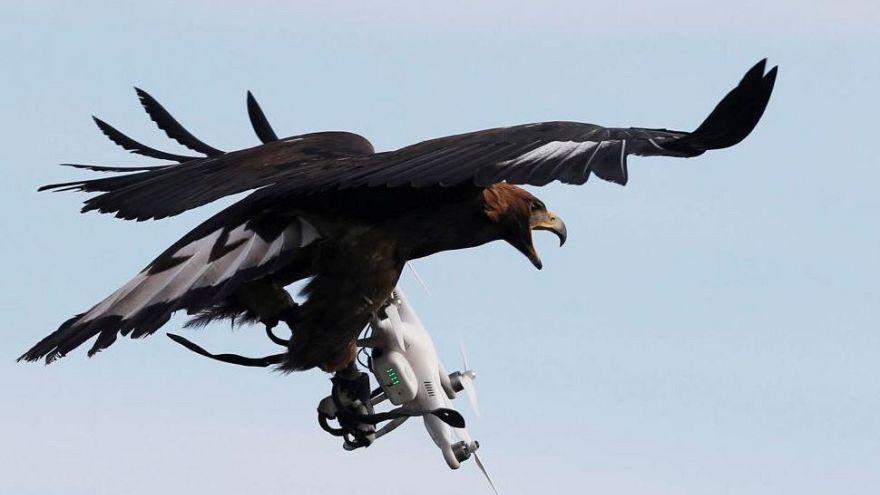 Fransız ordusu şüpheli drone'ları yakalayacak kartallar eğitiyor