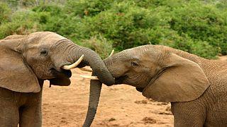 Kenya : recensement des éléphants dans le parc national de Tsavo