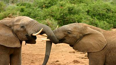 Kenya conducts elephant census as part of conservation efforts