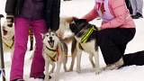 Russian sport lovers ride dog sleds through Siberian snow