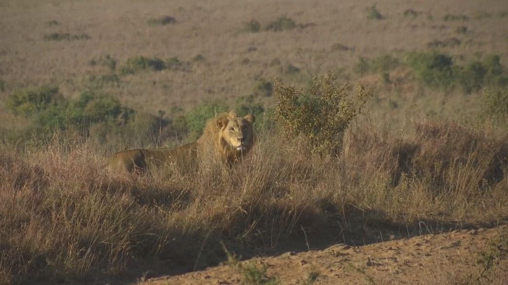 Leões do Quénia envergam coleira de geolocalização
