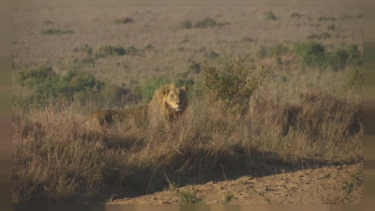 Lions in Nairobi National Park get tracking collars