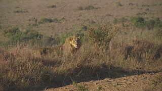 ردیابی شیرها در پارک ملی نایروبی