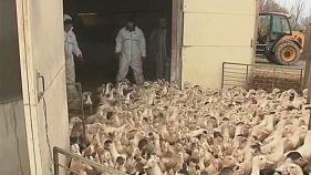 Francia sacrificará 360.000 patos más para contener la gripe aviar