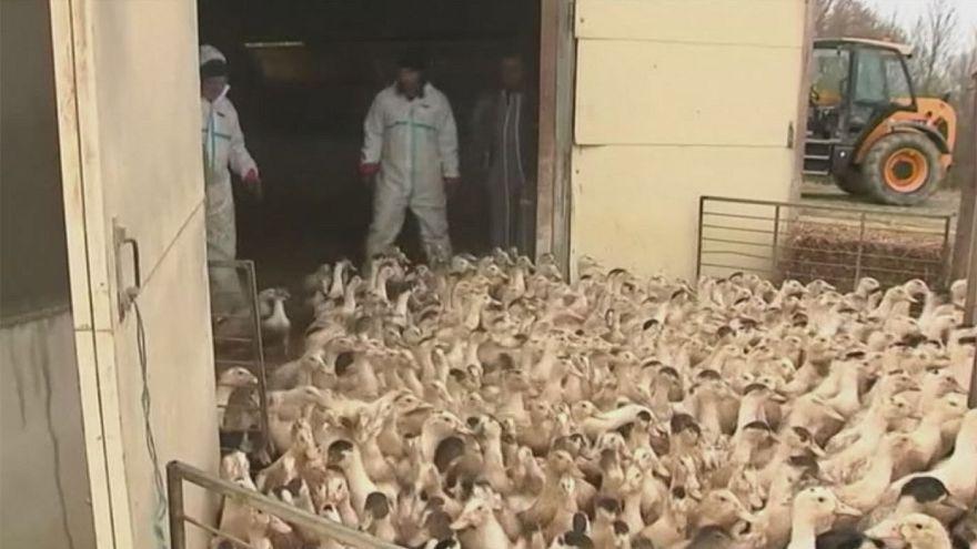 Adieu fois gras. In Francia 360.000 anatre da abbattere per fermare l'aviaria