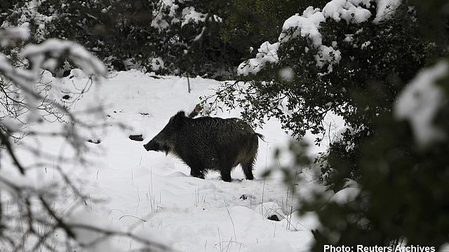 Wild Czech boars go nuclear eating mushrooms