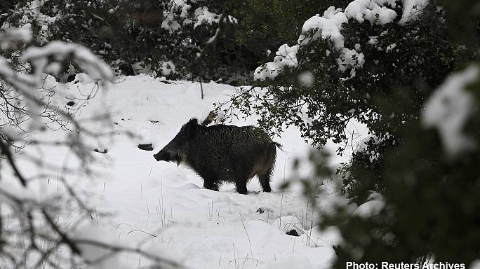 Wild Czech boars go nuclear eating mushrooms